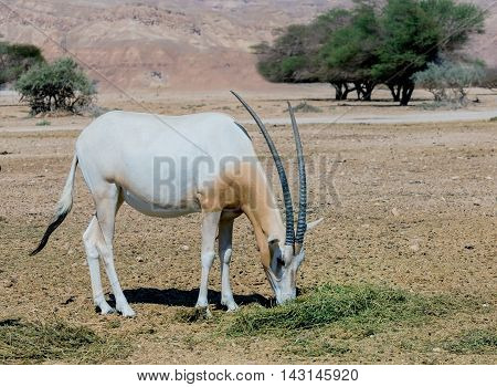 Sahara scimitar Oryx (Oryx leucoryx) in Hai-Bar nature reserve near Eilat, Israel. This species is in danger of extinction in its native environment in Sahara desert