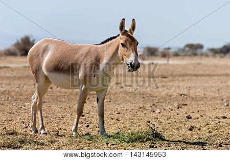 The onager is is a brown Asian wild donkey inhabiting nature reserve park near Eilat, Israel