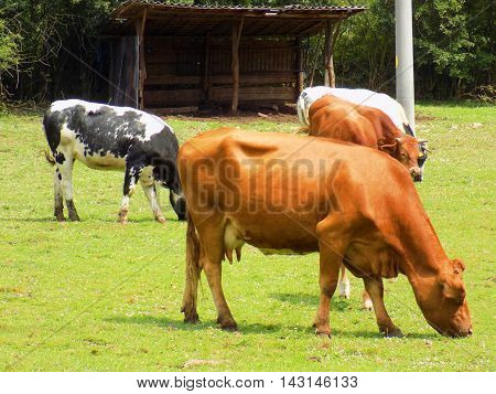 Cows grazing on meadow on dairy farm