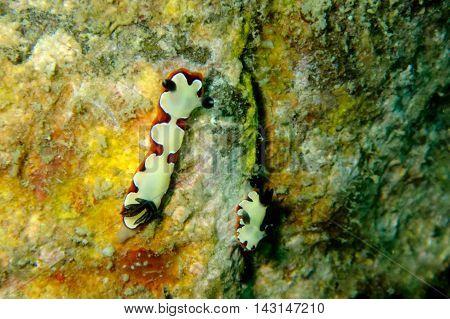 Nudibranch from Gulf of Thailand, Pattaya, Thailand