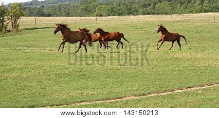 Herd of anglo-arabian horses. Well-groomed horses canter in rural pasture near the farm