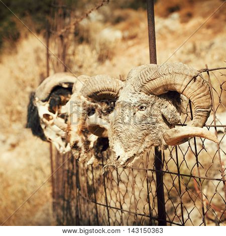 Old goat skull in countryside on colorfull background