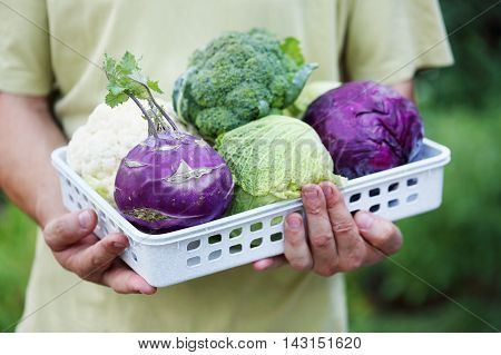 cabbage at the man in the hands of