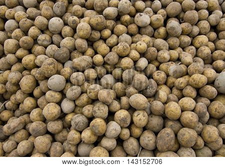 potatoes raw crude. new crop. young tubers