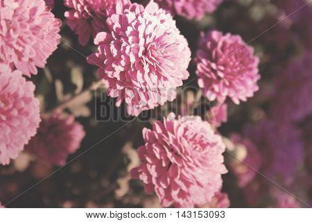 Pink Vintage Chrysanthemum Flower In Garden. Soft Focus. Toned Image.
