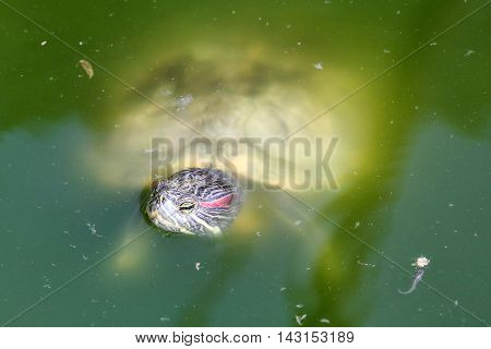 Red eared slider Turtle in on water pond outdoor daylight