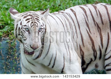Albino Bengal Tiger big cat at the zoo outdoor daylight