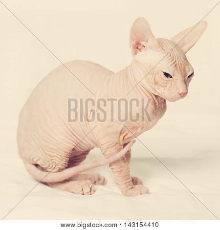 beautiful Cute hairless cat on gray background