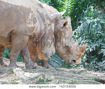 Asian rhino rhinoceros nose horn outdoors daylight zoo