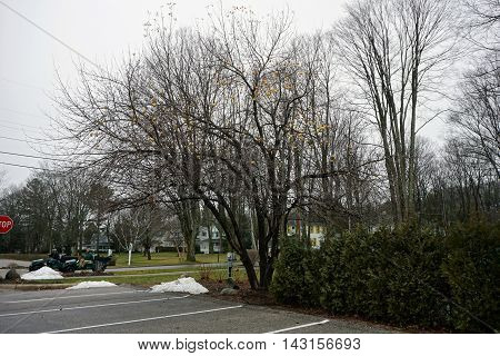 WEQUETONSING, MICHIGAN / UNITED STATES - DECEMBER 22, 2015: Yellow apples cling to an apple tree (Malus pumila) adjacent to a parking lot in Wequetonsing during December.