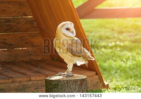 Barn Owl - in Latin Tyto Alba -sitting on a tree stump. Closeup of captive barn owl in sunny weather. Selective focus at the owl eyes.