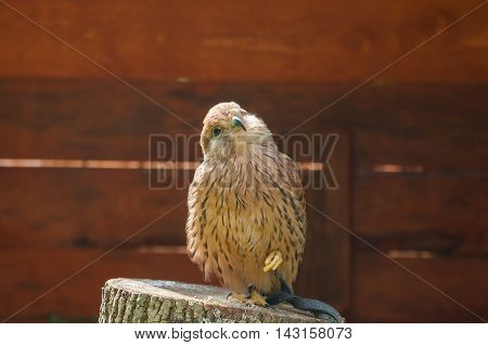 Captive kestrel bird - closeup portrait. Portrait of kestrel bird sitting on a tree stump with pursed foot and basking in the sun. Natural view with kestrel bird under soft sunlight