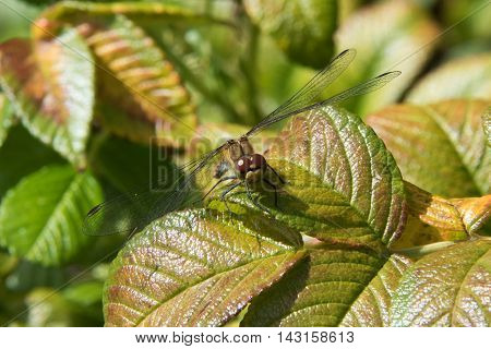 Dragonfly resting on green leaves facing you