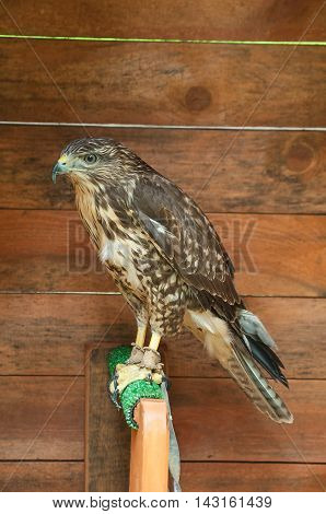 The captive common buzzard -in Latin Buteo buteo. Portrait of common buzzard bird in captivity. Common buzzard bird sitting on the perch