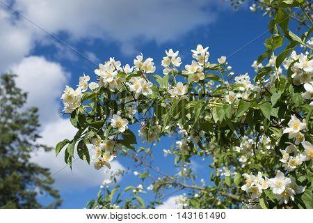 wild Jasmine bush bright blooming by summer