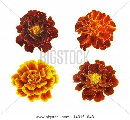 Set of three french marigolds .Tagetes patula isolated on white.