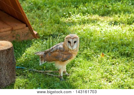 Barn Owl - in Latin Tyto Alba - in captivity. Closeup of captive barn owl in sunny weather. Selective focus at the owl eyes.