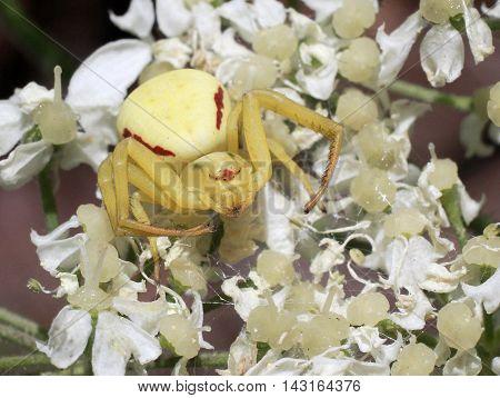 A Goldenrod Crab Spider (Misumena vatia) on white flowers