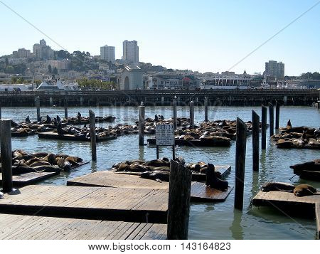 Colony of sea lions at PIER 39, Fisherman's Wharf, San Francisco (California, USA)