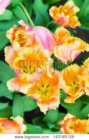 Vibrant colorful holiday or birthday background with beautiful pink and yellow tulips flowerbed