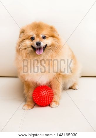Spitz Dog Sits Next To The Ball