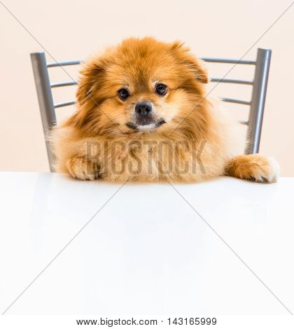 Spitz Is Sitting At The Table On A Chair