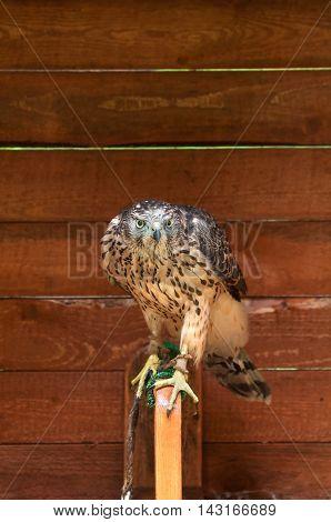 The captive goshawk -in Latin Accipiter gentilis. Portrait of common goshawk bird in captivity. Goshawk bird sitting on the perch and close looking