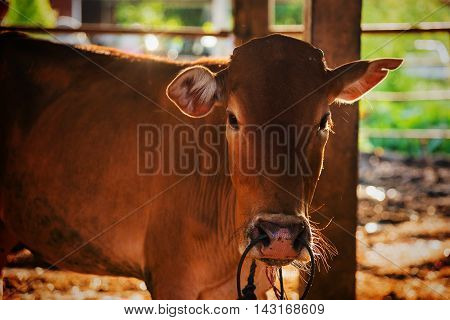 Brown Cow In The Shed With Rim Light