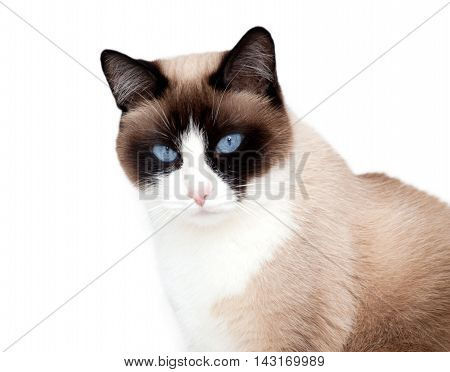 Snowshoe cat, a new breed of cat originating in the USA.