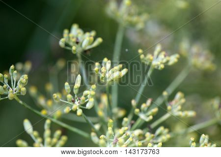 Seed on a Fennel plant (Foeniculum vulgare)