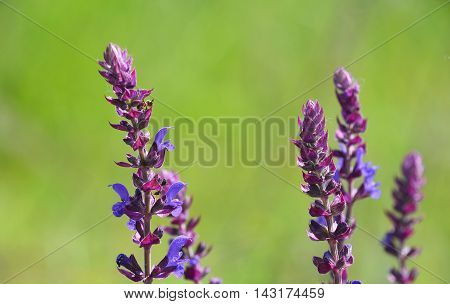 Purple Sage Salvia Flowers Over Green Meadow