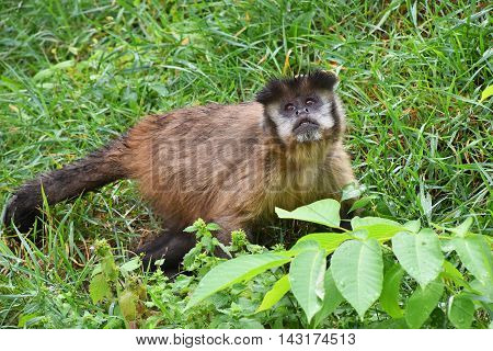 Brown Tufted Capuchin Monkey Male In Green Grass