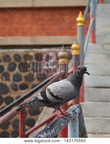 A Pigeon standing at the steel railing.