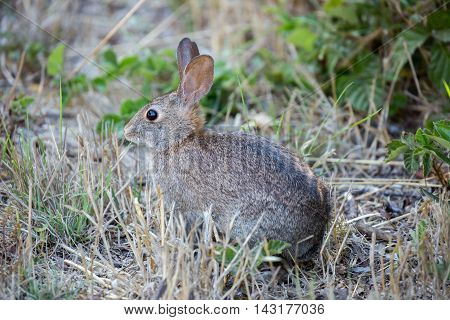 Alert Cottontail Rabbit - Sylvilagus. Cottontail rabbit eating cautiously in the meadows.
