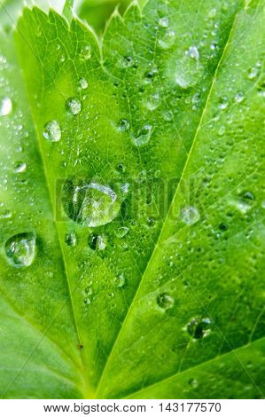 Background foliage with drops on leaf macro. Nature forest morning. Grass with water drops. Beautiful nature in detail.