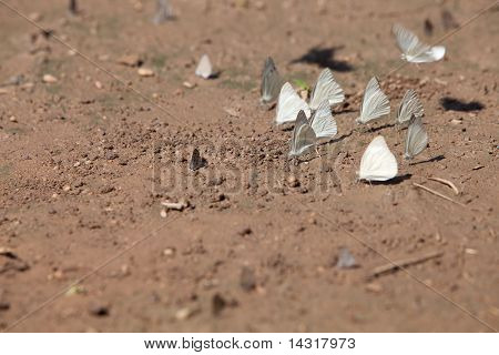 butterflies/The Common Albatross/appias Albina
