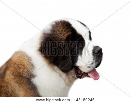 Portrait Of A Purebred Saint Bernard