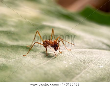 Acromyrmex on the big green leaf plants. Unusual insect - huge spikes and powerful jaw ant