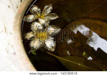Plumeria flowers, plumeria rot on the water.