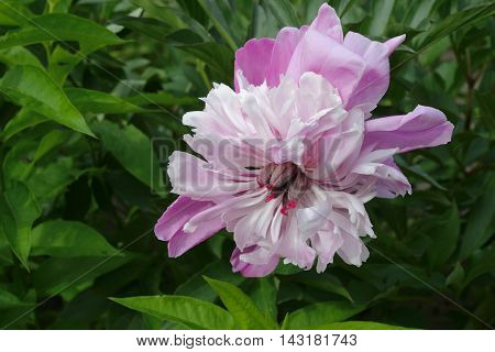 close up of blooming peony in a garden