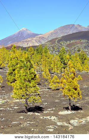 Conifers at the base of Mount Teide in Tenerife