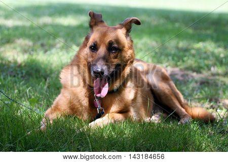 Beautiful happy german shepard dog laying in a meadow