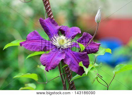 Violet clematis flower blooming in the garden closeup.