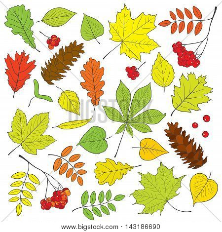 Vector set of different, isolated, detailed outline tree leaves, bunch of Rowan and pine cone in color on white background. Hand drawn colorful illustration for design.