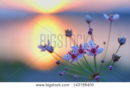 Flowering rush (Butomus umbellatus) at sunset,, close up