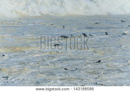 Cape fur seals swimming in ocean waves at Cape cross. Atlantic ocean Namibia Africa.
