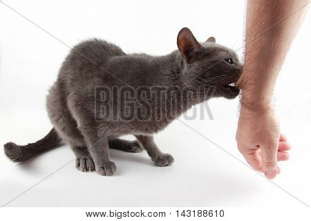 grey cat biting hand in his mouth on white background