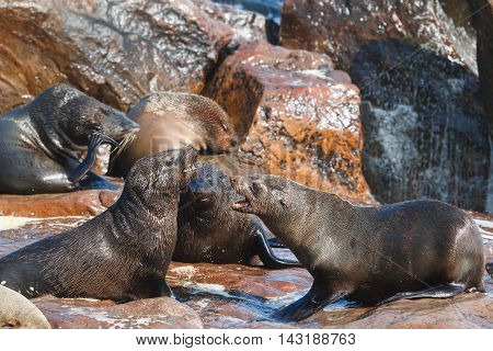 Cape Fur Seals Fighting