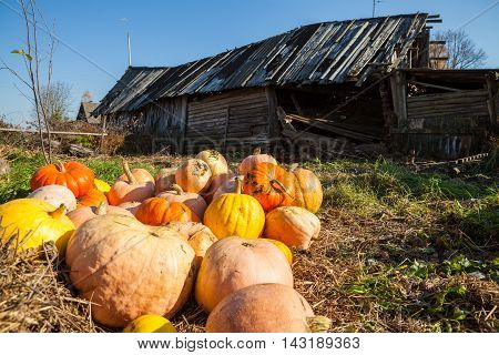 Pile of pumpkins on the ground in front of the old wooden barn on sunny day with clear blue sky