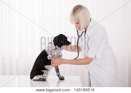 Young Female Vet Examining Dog With Stethoscope In Hospital